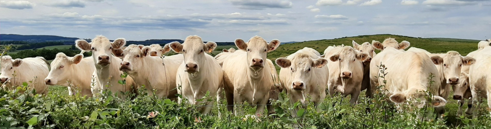 Koeien 2 1900x500