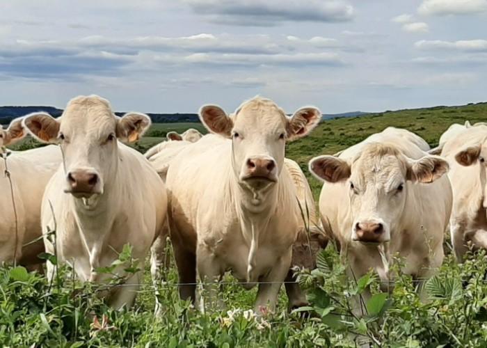 Koeien700x500